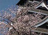 さくら 名所名木を訪ねて 熊本城(熊本)