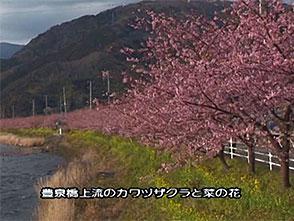 さくら 名所名木を訪ねて 河津桜(静岡)