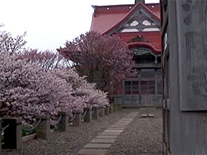 さくら 名所名木を訪ねて 清隆寺・千島桜(北海道)