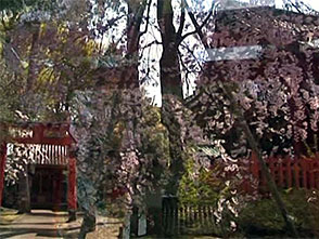 さくら 名所名木を訪ねて 兼六園・金沢城公園周辺(石川)