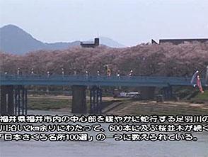 さくら 名所名木を訪ねて 足羽川・足羽山公園(福井)