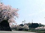 さくら 名所名木を訪ねて 日本平(静岡)