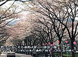 さくら 名所名木を訪ねて 大井川鐵道と家山の桜トンネル(静岡)