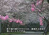 さくら 名所名木を訪ねて 忠元公園(鹿児島)