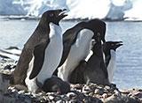 ペンギン・シアター アデリーペンギン
