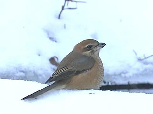 野鳥歳時記・春夏秋冬 野鳥キーワード編/水飲み