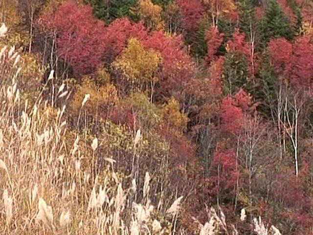 美瑛・富良野の四季 紅葉の森