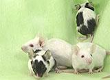 ハムスターとフェレット その他の仲間たち マウス/パンダマウス