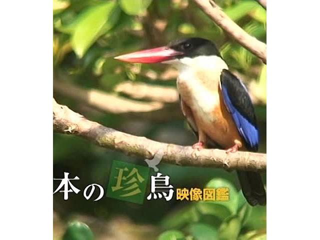 日本の珍鳥 映像図鑑 オープニング