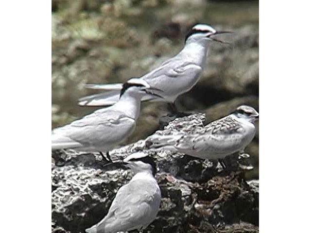 日本の珍鳥 映像図鑑 国内撮影パート2 イワミセキレイ、エトピリカ ほか