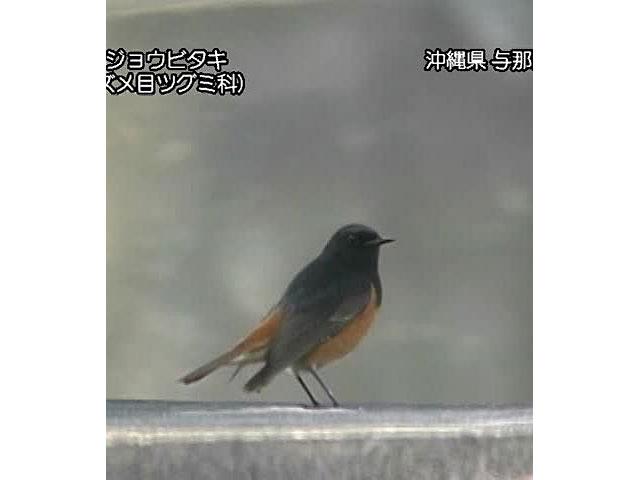 日本の珍鳥 映像図鑑 国内撮影パート3 カタグロトビ、クロトキ ほか