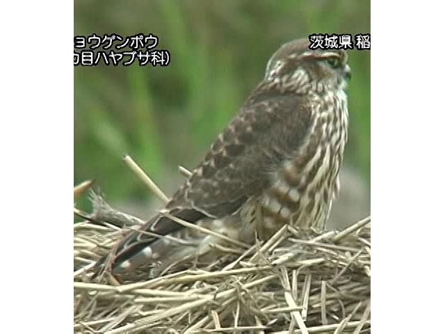 日本の珍鳥 映像図鑑 国内撮影パート4 コウノトリ、コシギ ほか
