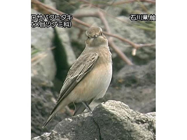 日本の珍鳥 映像図鑑 国内撮影パート5 サカツラガン、シロハヤブサ ほか