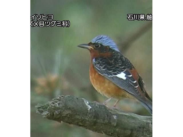 日本の珍鳥 映像図鑑 国内撮影パート7 ハイイロオウチュウ、ヒメクイナ ほか