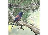 日本の珍鳥 映像図鑑 国内撮影パート8 マキバタヒバリ、ヤマショウビン ほか