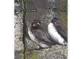 日本の珍鳥 映像図鑑 海外撮影パート1 アカアシミツユビカモメ、アメリカホシハジロ ほか