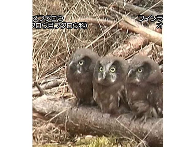 日本の珍鳥 映像図鑑 海外撮影パート2 カタシロワシ、ズグロヤイロチョウ ほか