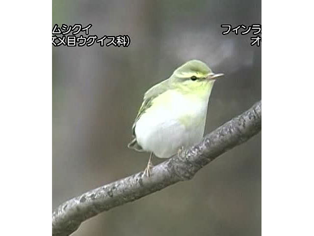 日本の珍鳥 映像図鑑 海外撮影パート4 マダラフルマカモメ、ヨーロッパアマツバメ ほか