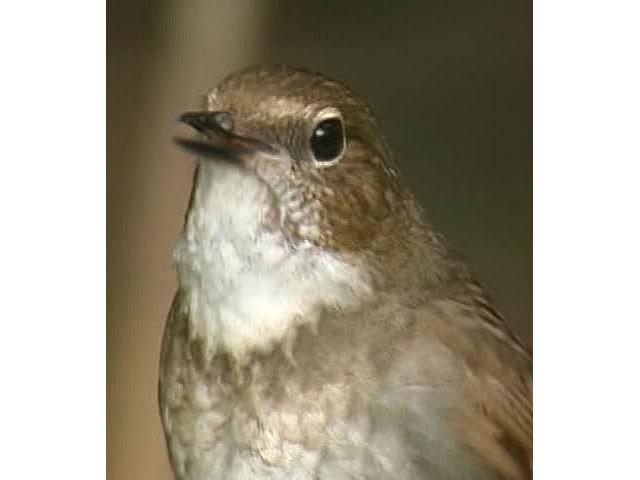 日本百鳴鳥 オープニング