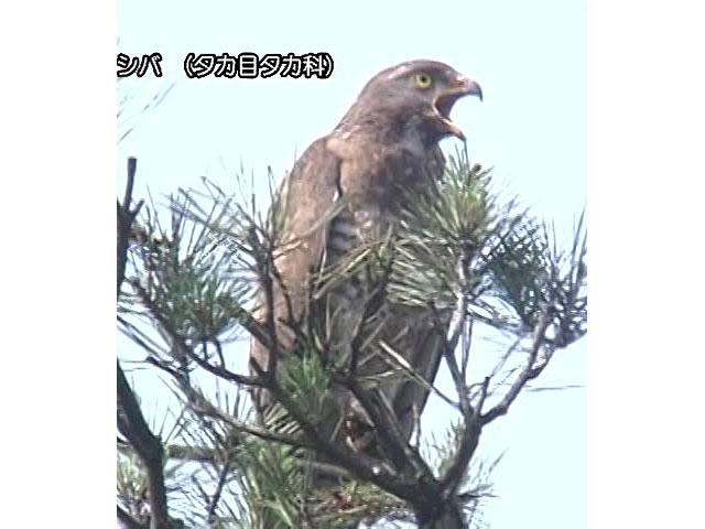 日本百鳴鳥 国内撮影パート1 オオワシ、ライチョウ ほか