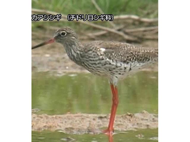 日本百鳴鳥 国内撮影パート2 タンチョウ、キアシシギ ほか