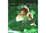 日本百鳴鳥 国内撮影パート3 ホトトギス、シマフクロウ ほか