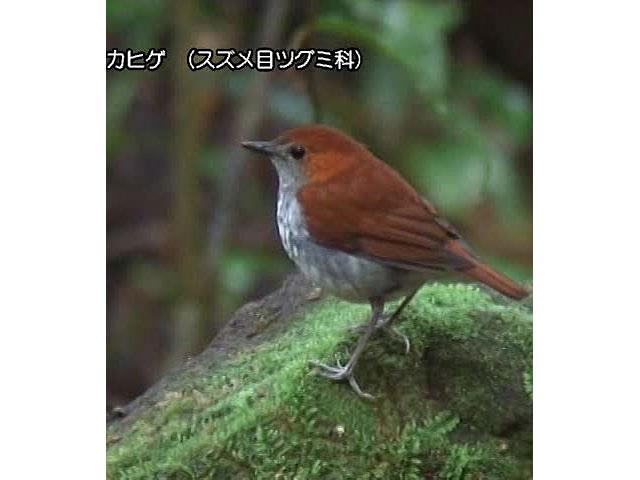 日本百鳴鳥 国内撮影パート5 コマドリ、ルリビタキ ほか
