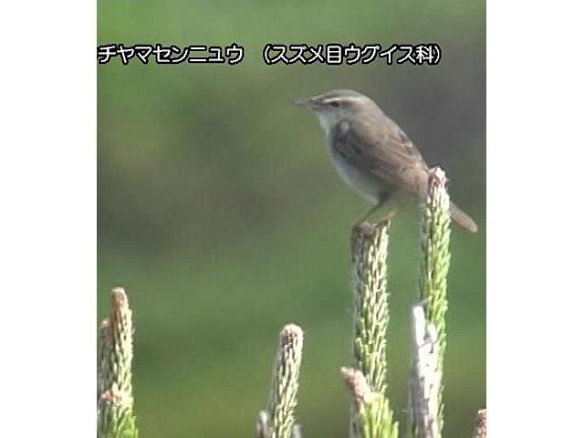 日本百鳴鳥 国内撮影パート6 ウグイス、オオルリ ほか