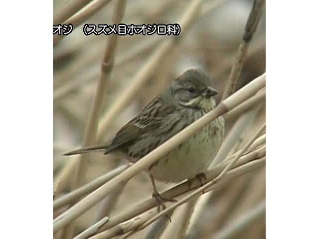 日本百鳴鳥 国内撮影パート7 サンコウチョウ、メジロ ほか