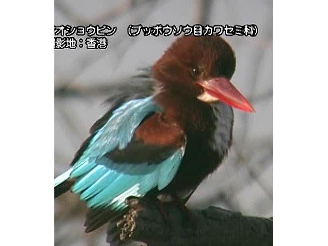 日本百鳴鳥 海外撮影パート1 トキ、シロフクロウ ほか