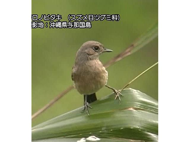 日本百鳴鳥 海外撮影パート2 キガシラセキレイ、ヨーロッパコマドリ ほか