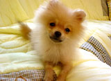 Dog's Heart『犬の気持ち』〜ポメラニアン〜
