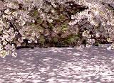 さくら 三大名所を訪ねて〜弘前公園〜