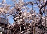 さくら 三大桜を訪ねて〜山高神代桜〜
