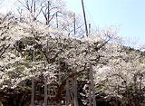 さくら 三大桜を訪ねて〜根尾谷淡墨桜〜