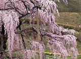 さくら 三大桜を訪ねて〜三春滝桜〜