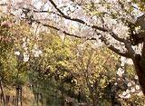 さくら 日本列島名所を訪ねて〜日本平〜