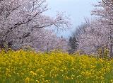 さくら 日本列島名所を訪ねて〜忠元公園〜