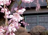 卒業桜 さくら映像詩 旧山本中学校 杵原校舎 (長野)
