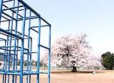 卒業桜 さくら映像詩 越前市味真野小学校 (福井)