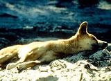 知られざる動物たちの隠れ家:オーストラリア:ディンゴの島