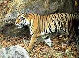 野生の楽園:バンダウガル:インド、トラの聖地
