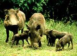 知られざる動物たちの隠れ家:アフリカ:野生ブタの天国